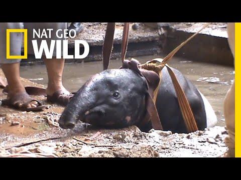 Watch as Rescuers Save a Stuck Tapir   Nat Geo Wild