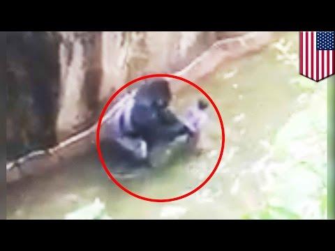 Boy falls into Gorilla enclosure: Zoo gorilla 'Harambe'shot dead after grabbing 4-yo boy - TomoNews