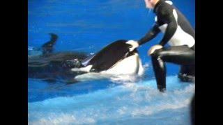 Show Believe - SeaWorld - Orcas e Tilikum(Shamu)