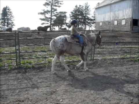 For Sale - Prince Caspian: ridden by 5 year old