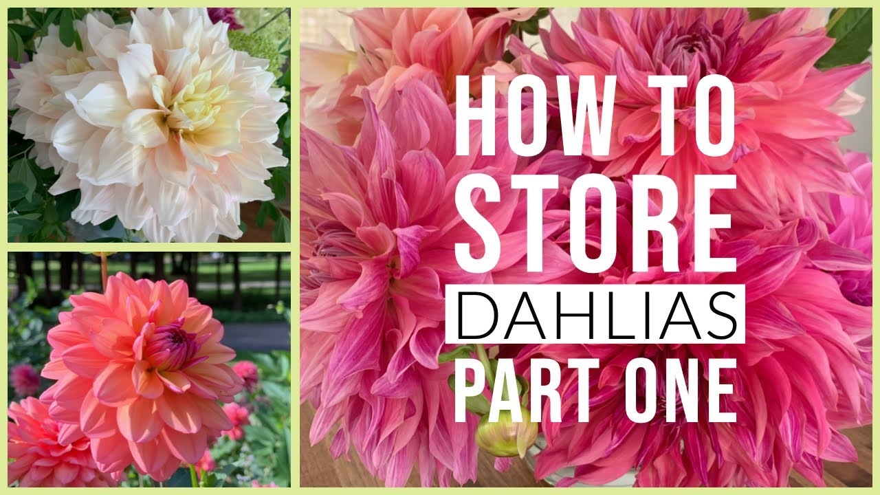 How To Store Dahlias Part 1 The Impatient Gardener Youtube