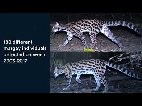 60 Second Science: The Mysterious Margays of Belize