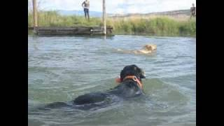 Labrador Dock Jumping Retrieve