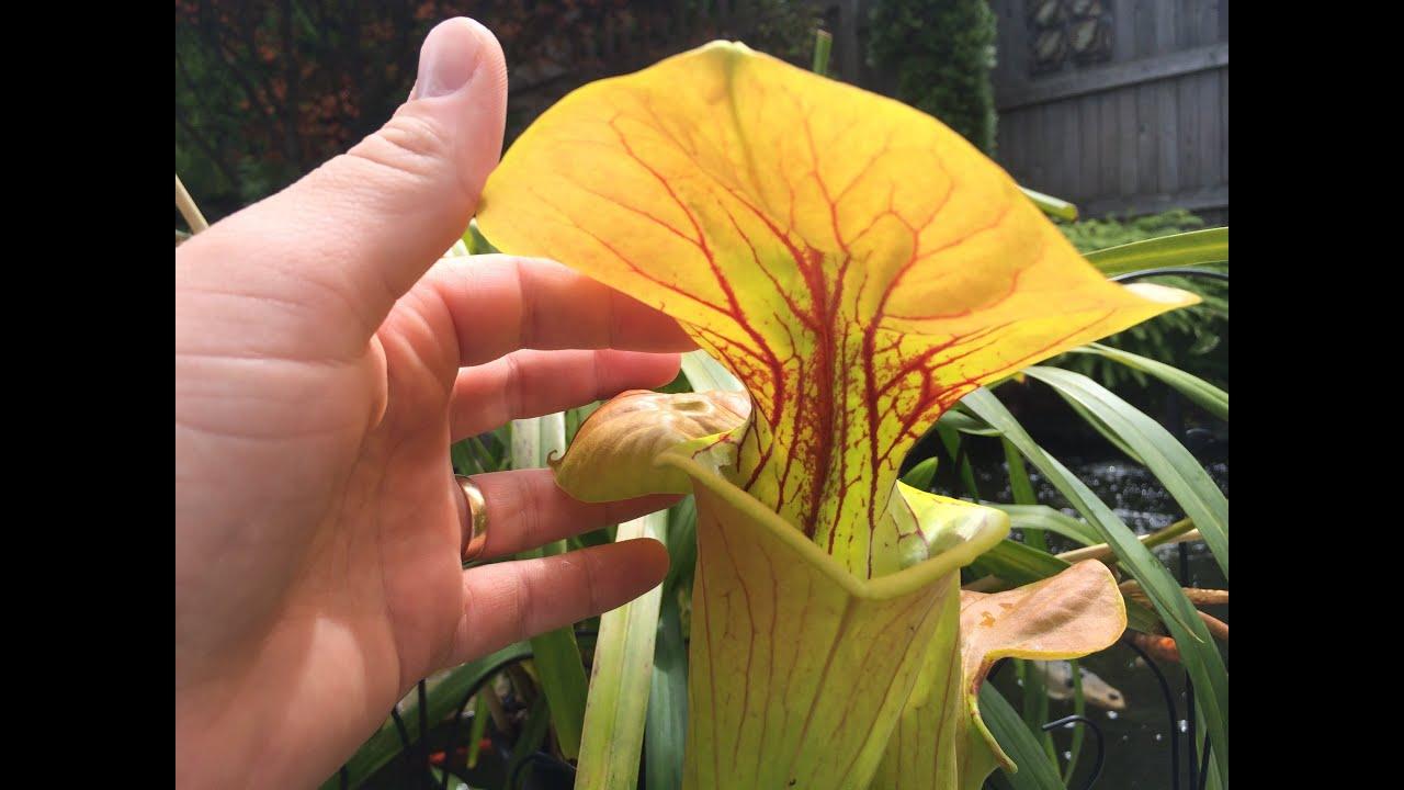 Temperate Carnivorous Plant Update For June Cobra Lilys Sundews