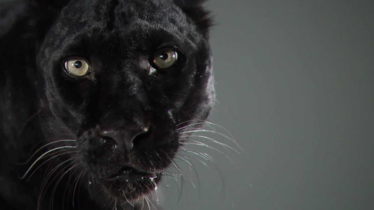 Black Panther Wallpaper Black Leopard Slow Motion Cats Phantom Camera Series