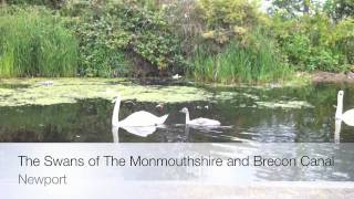 The Swans of The Monmouthshire and Brecon Canal