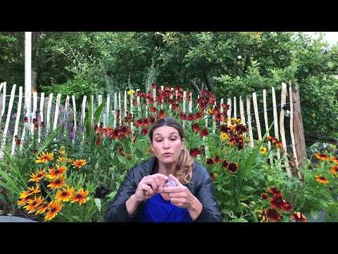 Vårlökar plantera  dem så här -3 saker du bör känna till om tulpaner hyacinter narcisser & vårlökar