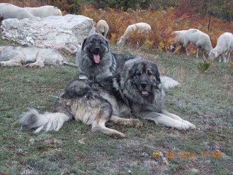 Livestock Guard dogs ( goat farming 2018 )