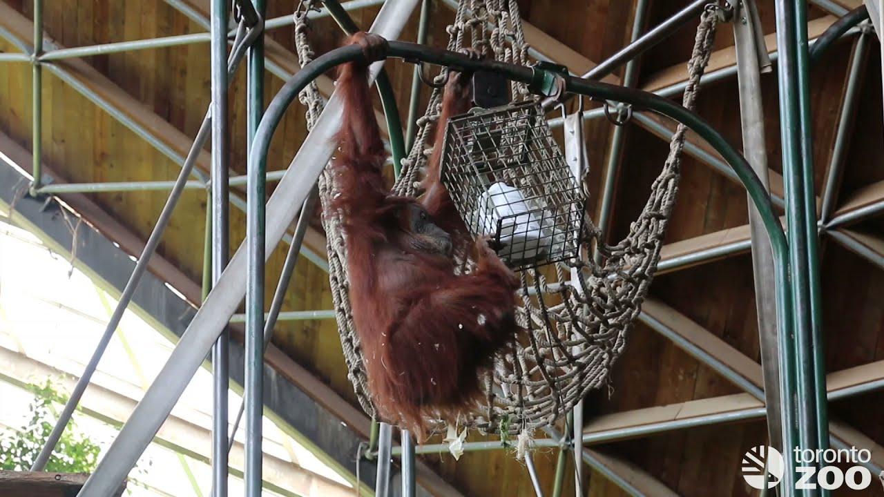 Training with Sumatran Orangutan Puppe