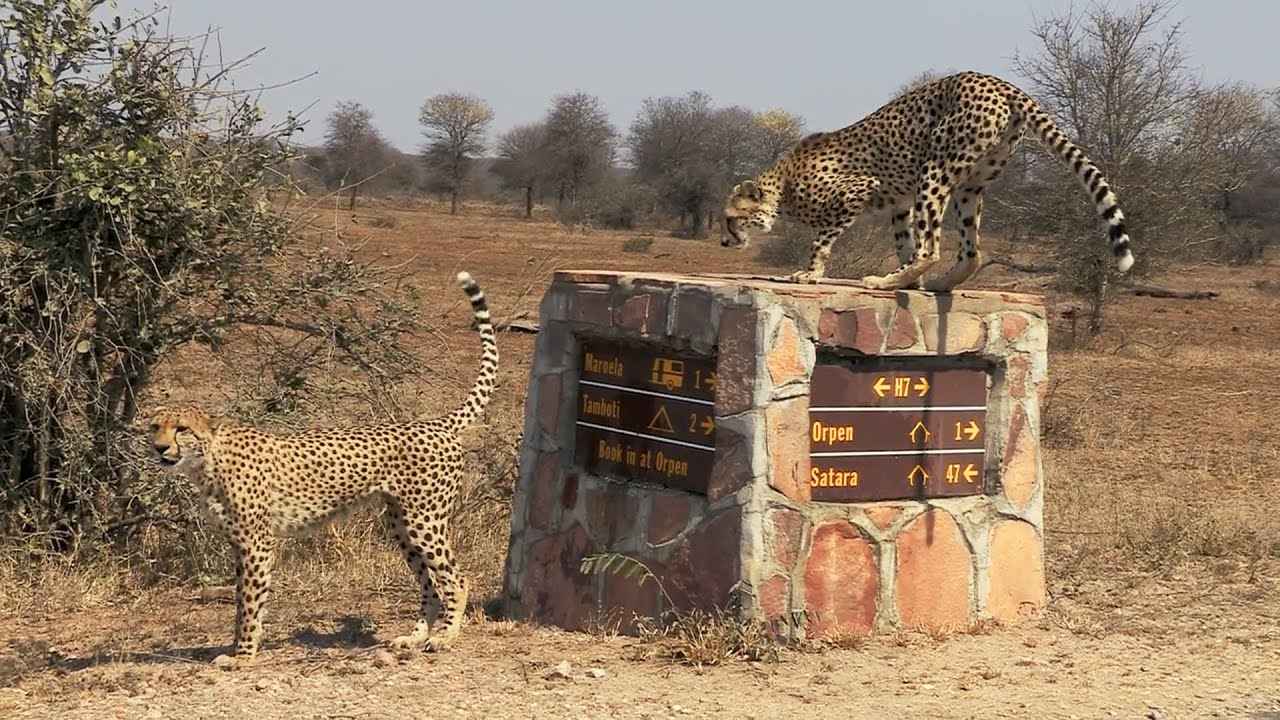 Two Cheetah Brothers Marking Territory In Kruger National Park Seen Close To Orpen Gate Limpopo Rsa Youtube