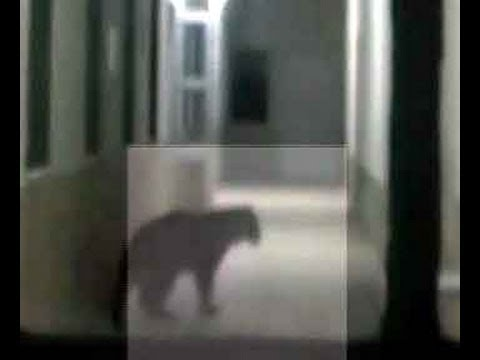 Army on alert  in Meerut, as stray leopard enters market, hospital and a cinema hall