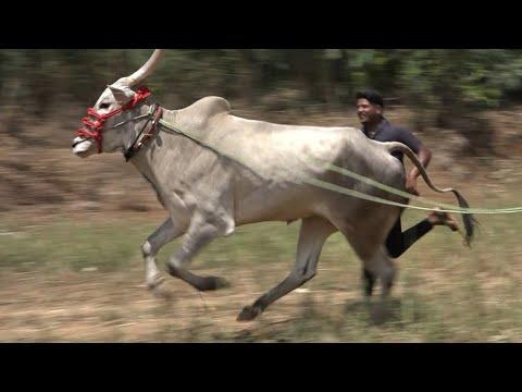 Hulginakoppa Nayaka hallikar bull without Decoration, Hori habbada hori