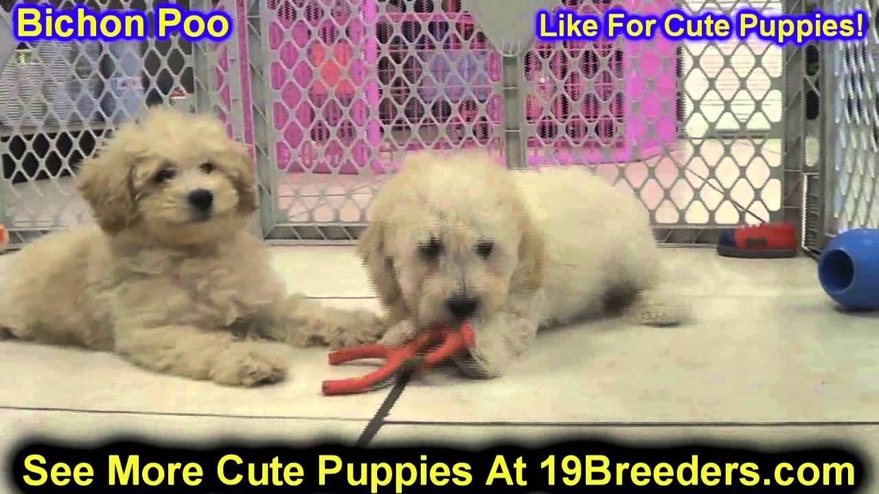 Bichon Poo, Puppies, Dogs, For Sale, In Little Rock ...