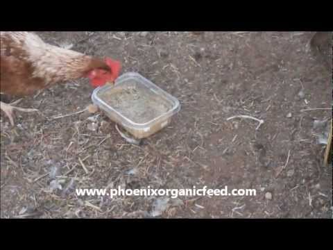 Getting chickens to eat powder waste in mash feed-Organic GMO free Chicken Feed Phoenix Arizona