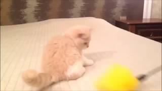 Нежный персиковый котенок. Истинный британец.