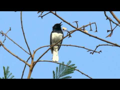 Oriental Magpie Robin male singing at Attapur - Hyderabad - India