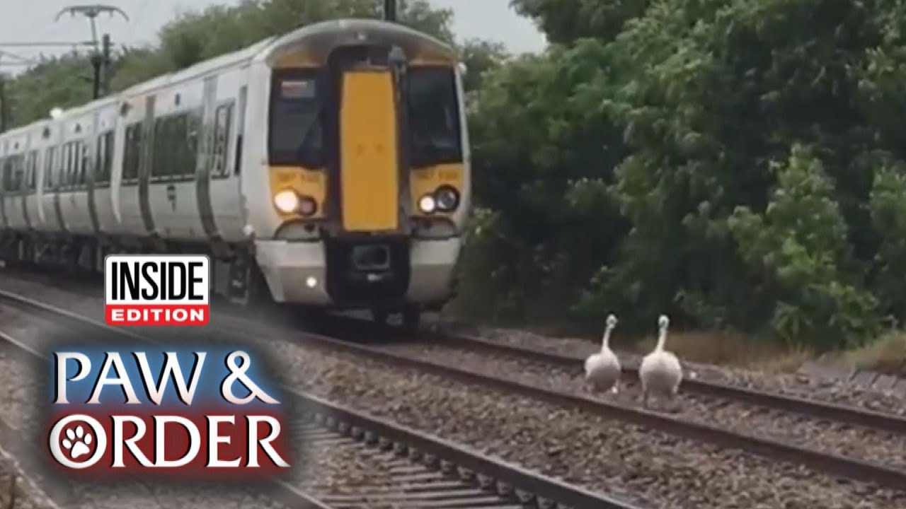 Paw & Order: Swans Waddling on Tracks Stall Train