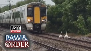 paw-order-swans-waddling-on-tracks-stall-train