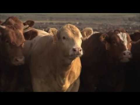 Agribeef and Snake River Farms: Animal Well Being