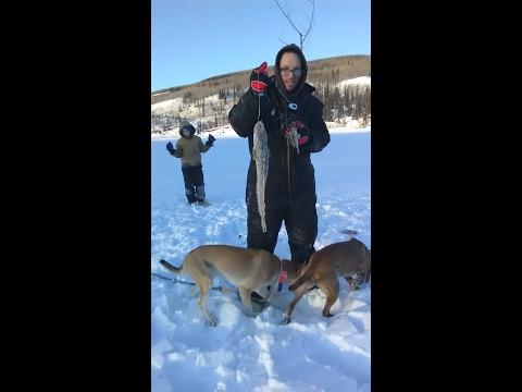 Ice Fishing Alaskan Burbot On The Tanana