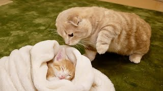 ずっと寝ている子猫が気になって仕方ない短足猫が可愛すぎたw