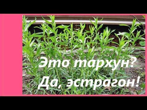Трава тархун - Польза и вред