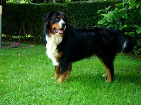 Dogs Breeds. More than 300 breeds