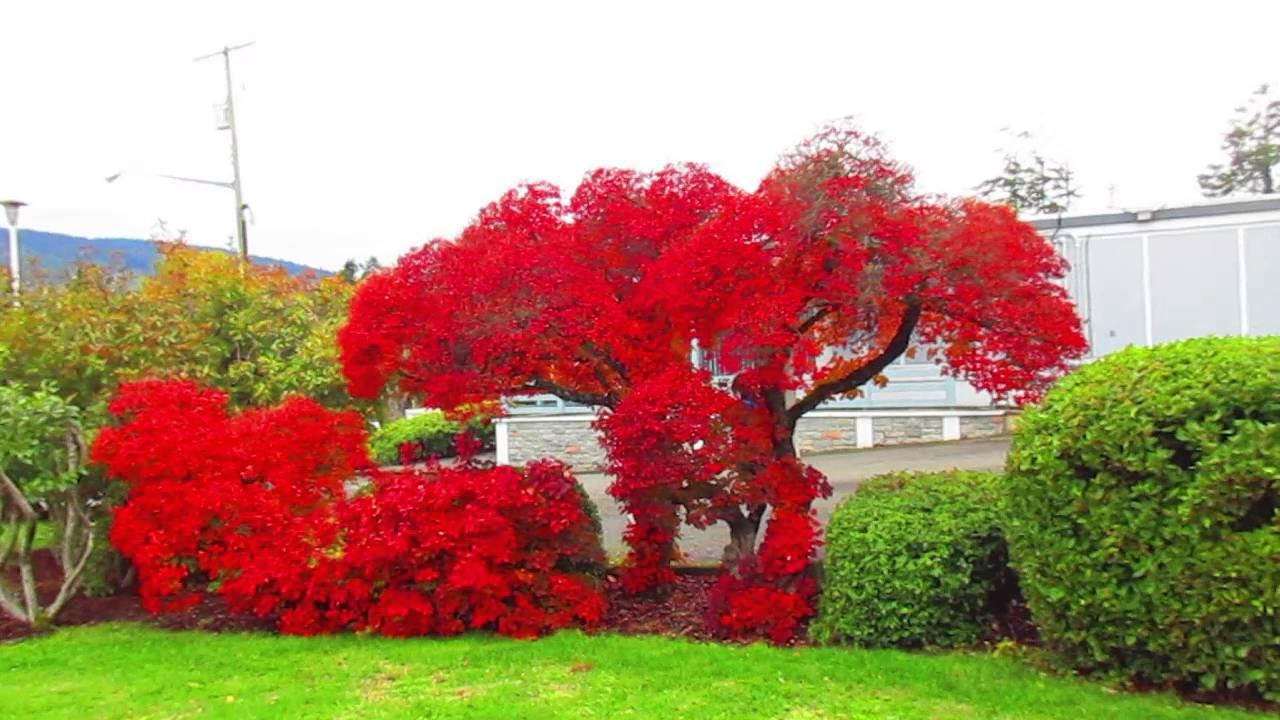 Smoke Tree With Brilliant Autumn Colour