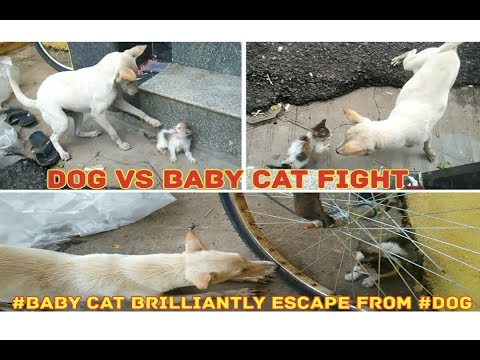 Dog vs kitten brave fight