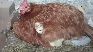 S2E13: Zamykanie kur oraz mała niespodzianka u kurczaków