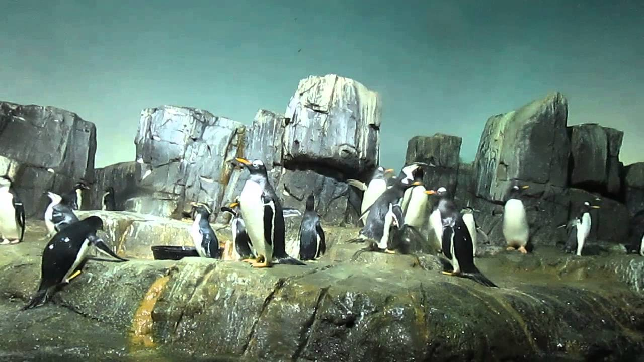 Penguins At Central Park Zoo Youtube