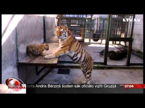 Rīgas zoodārzā vasarā piedzimuši tīģerēni