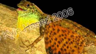 Flying Dragon Lizard