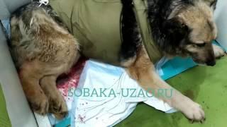 Собака после проведенной операции мучительно умирает в приюте Щербинка