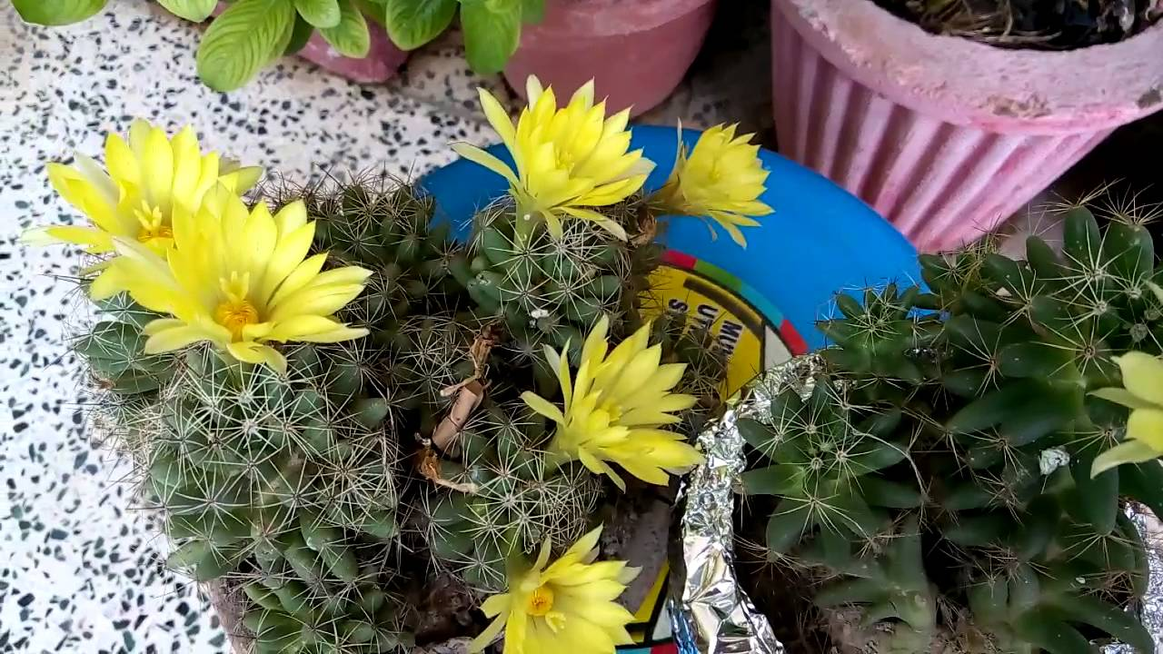14 Blooming Cactus Flowers In Small Pots Hindi Jhansi 15