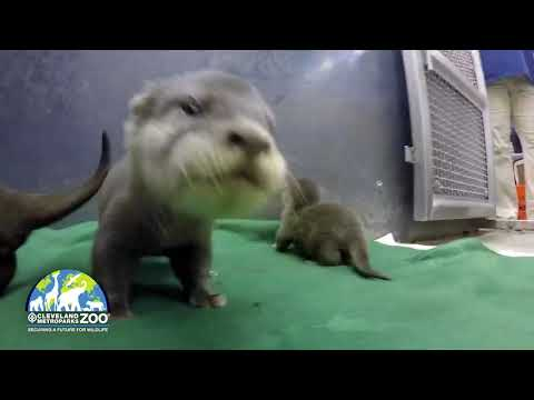 3 new otter pups born at Cleveland Metroparks Zoo