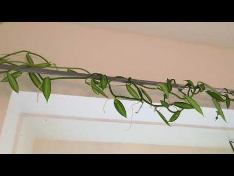 Growing Vanilla in my Home