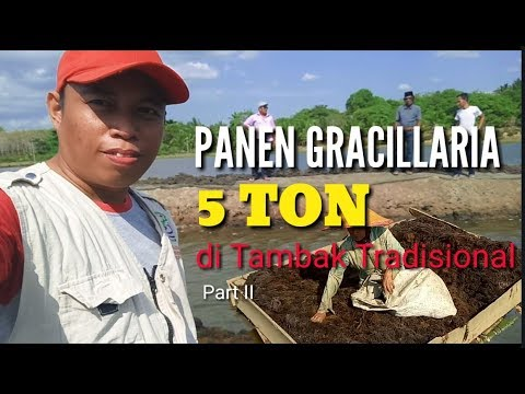 Panen Gracillaria 5 Ton Di Tambak Tradisional