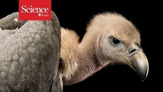 Vulture safe zones aim to preserve an unloved but vital scavenger