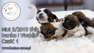 Miot S/2019 Shih Tzu - Ivanka i Vivaldi - Cżęść 1 - #beatus_canes