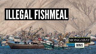 Peru's illegal fishmeal production thumbnail