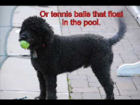 What is a Portuguese Water Dog?