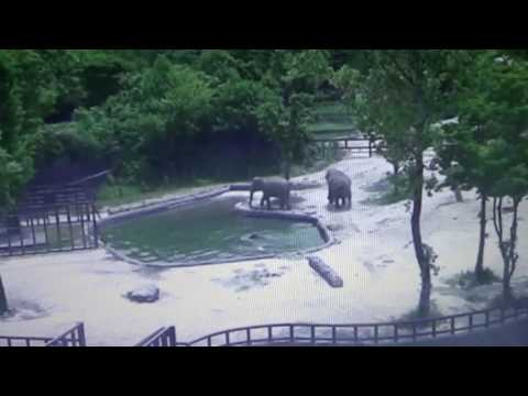 Elephant Behavior: Parents Save Baby When It Falls In Water - It Should Have Had A Helmet On