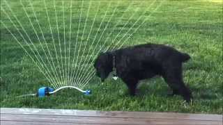 Jackson Loves The Sprinkler | English Cocker Spaniel Playing In Sprinkler