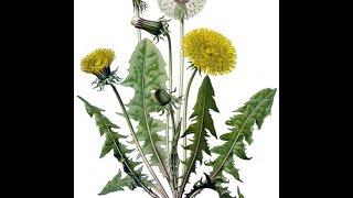 DIENTE DE LEON (Taraxacum officinale) PLANTAS MEDICINALES