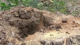 Honey bees in the ground.