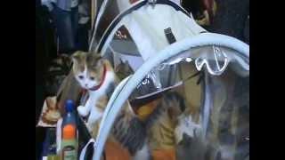 Выставка кошек 16 февраля 2014 г., Новосибирск, Академгородок, Дом Ученых