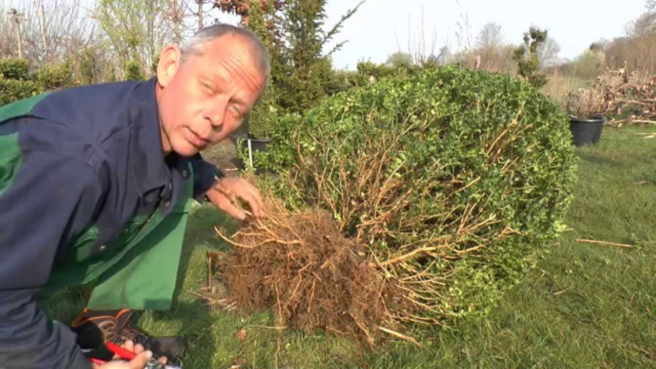 buchsbaum buxus umpflanzen - youtube