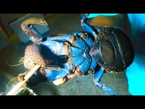指を挟み切るヤシガニを捕まえる最強の罠【西表島遠征釣り修行#7】