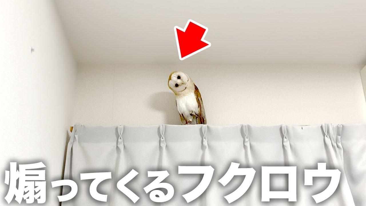 上から目線で飼い主を煽ってくるフクロウ